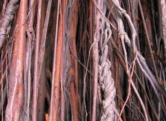 Tan Listwa, racines, roots