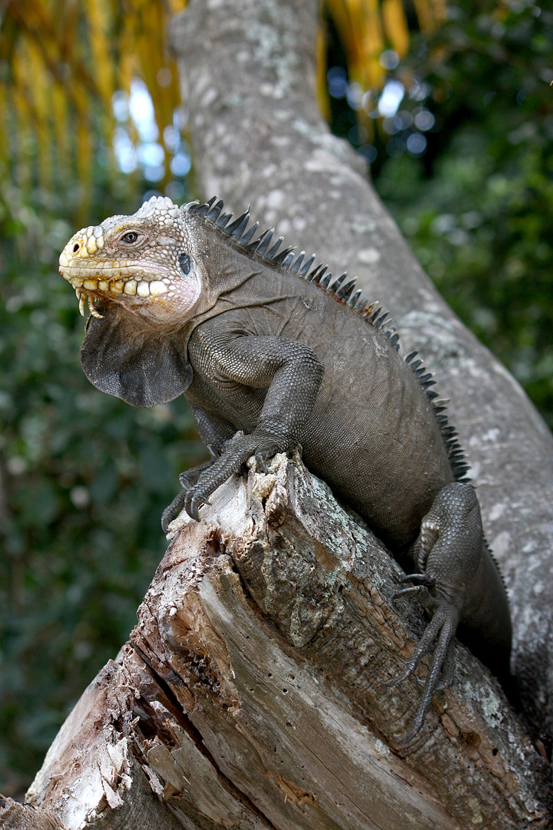 tanlistwa-Iguana_delicatissima_in_Coulibistrie_wikipedia