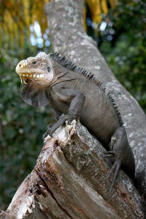 tanlistwa-Iguana_delicatissima_in_Coulibistrie_wikipedia