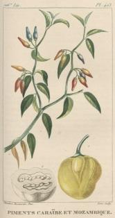 tanlistwa, planche gravure, piments caraïbe, Descourtilz, 1828